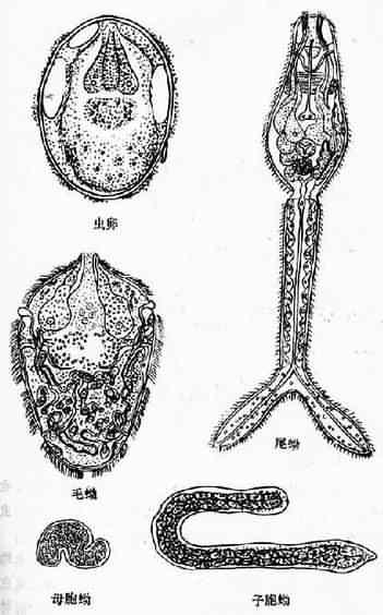 日本血吸虫卵及各期幼虫
