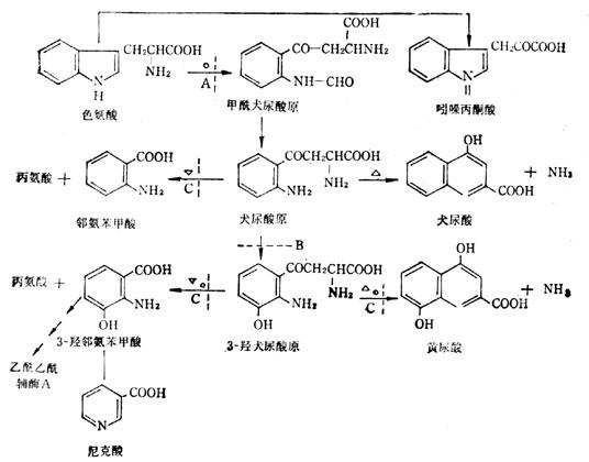 色氨酸的分解代谢