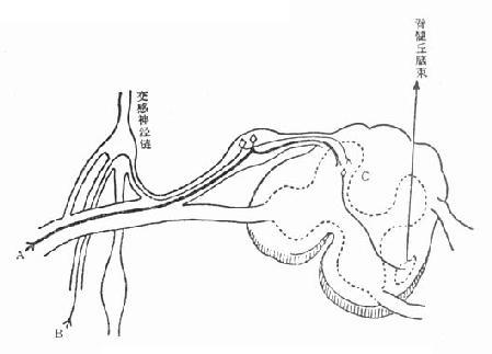腹痛发生的神经传导