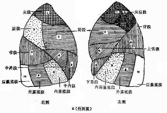 呼吸系统x线诊断 呼吸系统正常x线表现 >> 肺   图3-9 肺门结构示意图