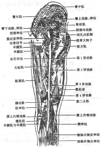 臀区、股后区和腘窝深层肌与血管神经