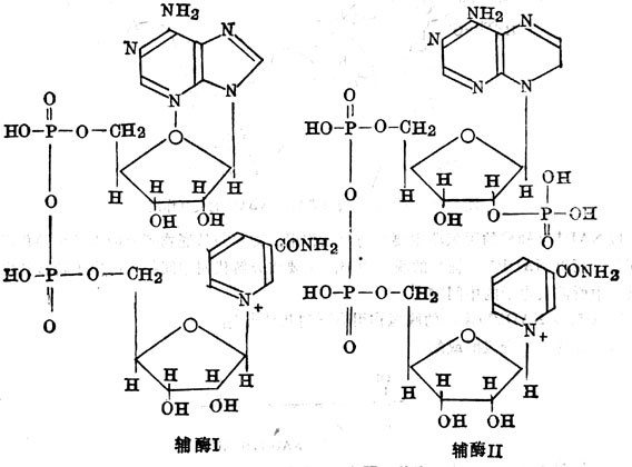 辅酶Ⅰ及Ⅱ的结构