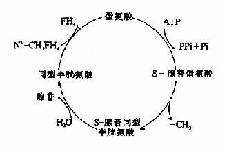 S-腺苷蛋氨酸循环