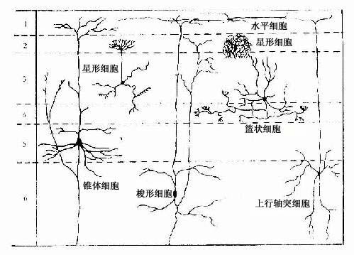大脑皮质神经元的形态和分布