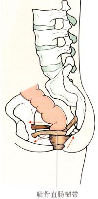 耻骨直肠韧带
