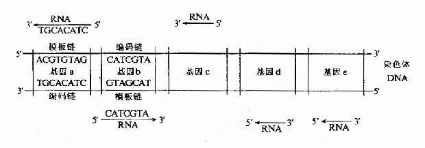 细菌染色体上几个基因转录的方向及所用模板