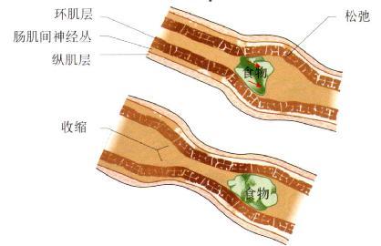 小肠的一个蠕动收缩将内容物向远端推进