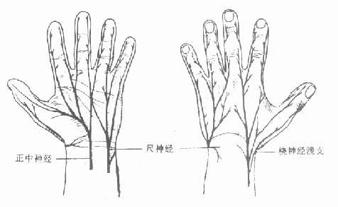 手部的感觉神经分布