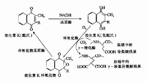 維生素K在谷氨酸殘基r-羧化反應中的作用(維生素K循環)