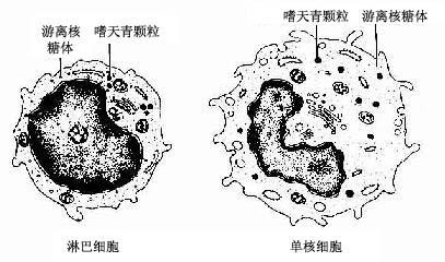 淋巴细胞与单核细胞超微结构模式图