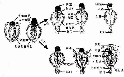 男、女外生殖器的发育