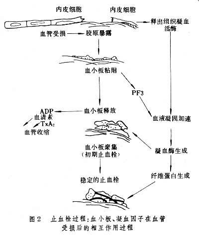 止血栓作用过程
