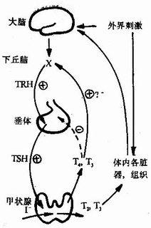 下丘脑-垂体-甲状腺轴反馈关系