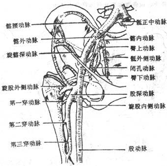 髋关节周围动脉网