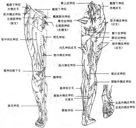 下肢的皮神經