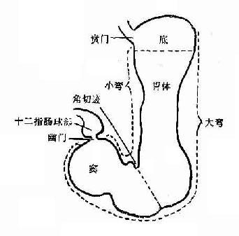 胃的解剖分区