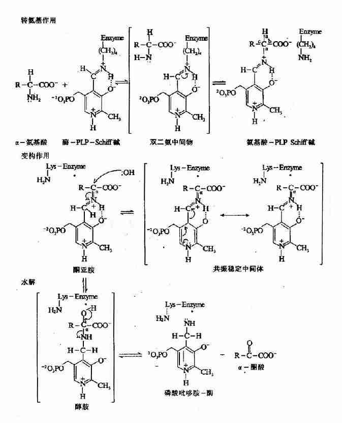 PLP 依赖的酶促转氨基反应机理