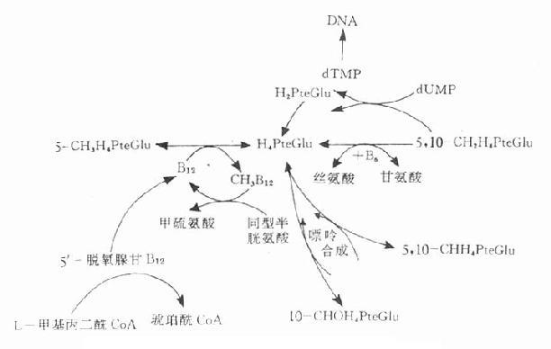 叶酸和维生素B12的代谢及它们的相互关系