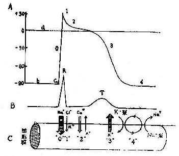 心肌细胞除极复极时电位变化与离子活动心电图关系示意图
