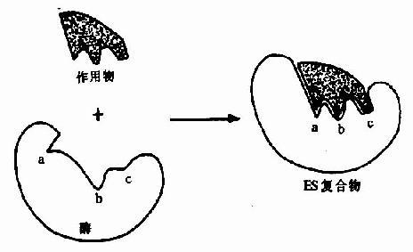 """底物与酶相互作用的""""诱导契合""""模式图"""