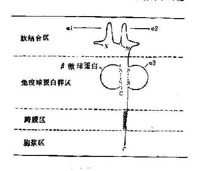 HLA-Ⅰ类分子结构示意图