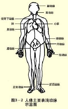 人體主要表淺動脈示意圖