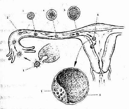 卵子受精与着床(植入)示意图