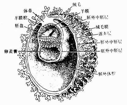 第3周初胚的剖面