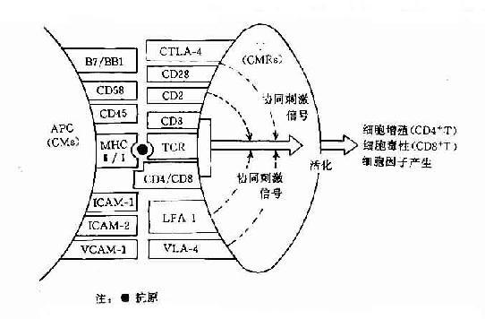 T细胞活化主要协同刺激分子(CM)及其受体分子(CMR)的组成和作用示意图