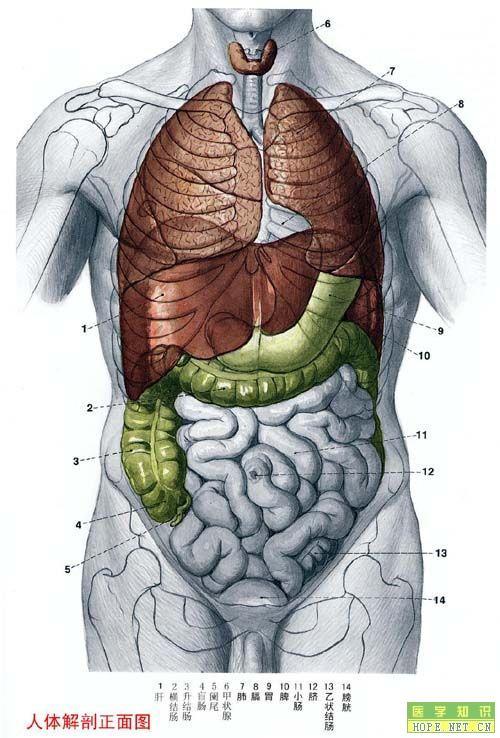 人体解剖正面图