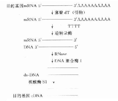 目的基因cDNA的合成