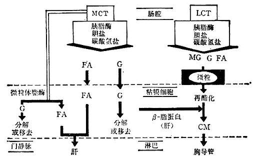 LCT与MCT的消化与吸收