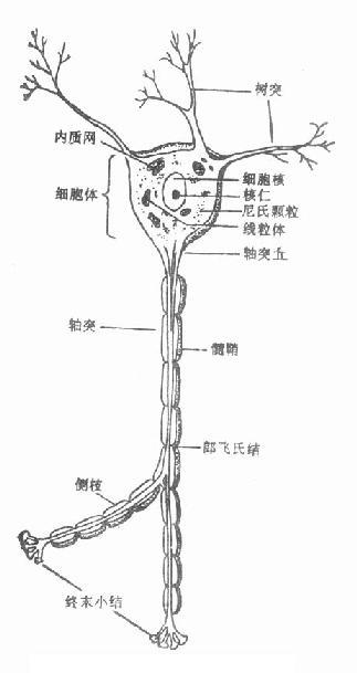 神经元的结构