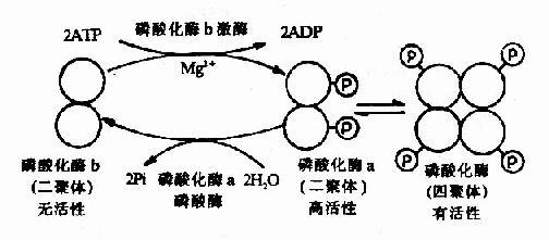 肌肉磷酸化酶的酶促化学修饰作用