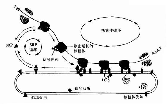 在蛋白质越过内质网的转运过程中,SRP和船坞蛋白(或SRP受体)的作用