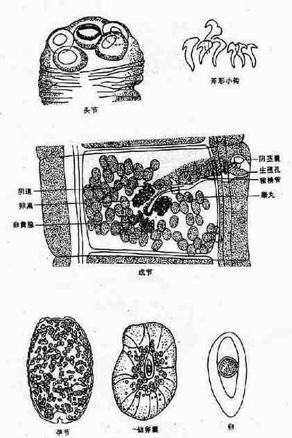 西里伯瑞列绦虫
