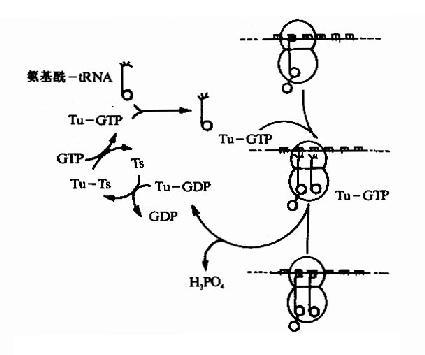 原核生物肽链延长因子EFTu与EFTs的作用原理