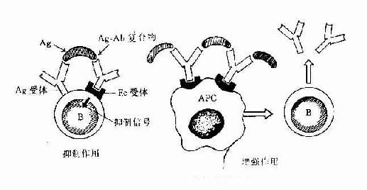 免疫复合物的免疫调节作用