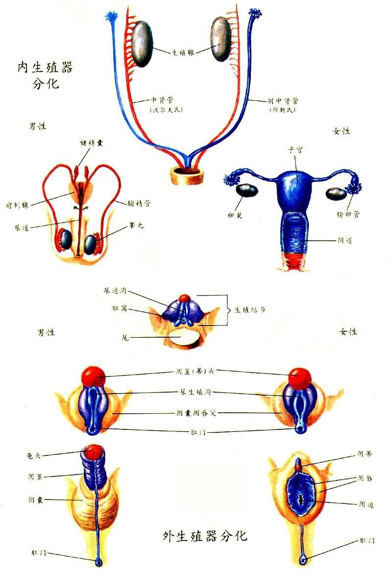 生殖器分化