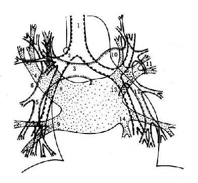 肺门结构示意图