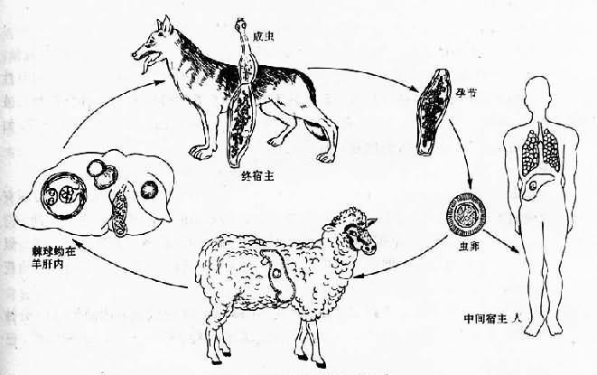 细粒棘球绦虫生活史