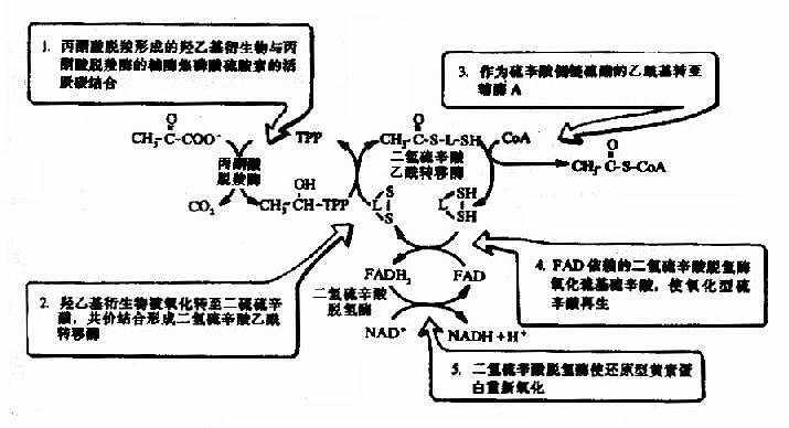 丙酮酸脱氢酶复合物的作用机制