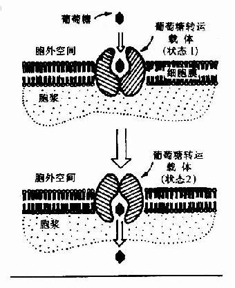 葡萄糖通过转运载体转入细胞示意图