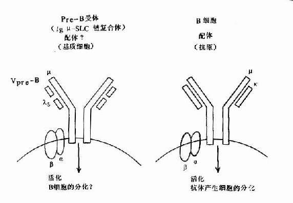 pre-B受体(μ-SLC)与B细胞抗原受体机能