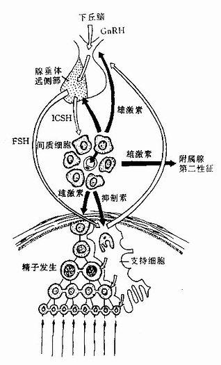 睾丸功能内分泌调节示意图