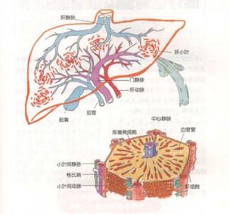 肝脏.jpg