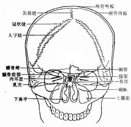 头颅-后前位(中心X线垂直)