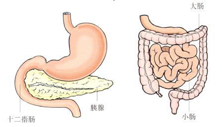 十二指肠和小肠位置