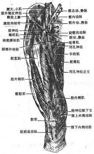 股前部浅层肌与血管神经