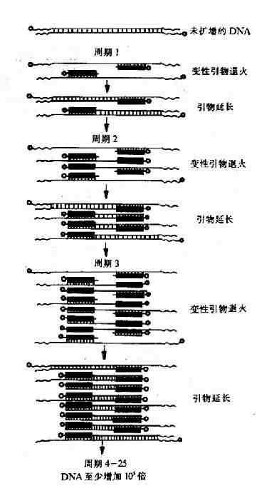 PCR基本原理示意图
